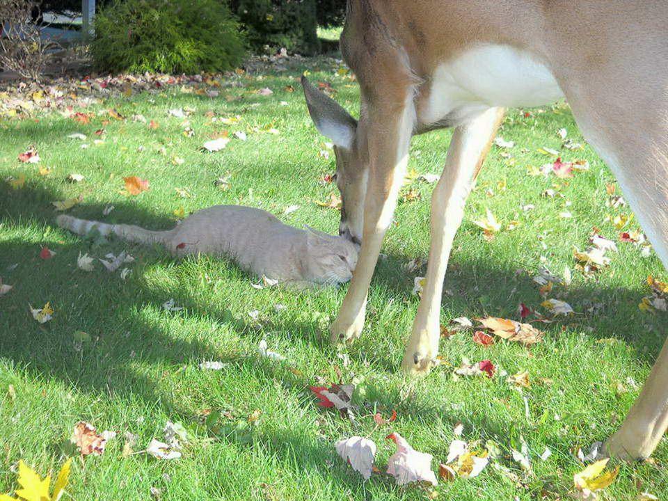 Un cervo ogni mattina va a trovare un gatto. Questo gatto Harrisburg, Pennsylvania (USA), ha la fortuna di avere questo amico speciale. Il proprietari