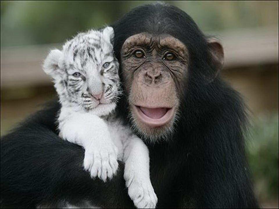 Anjan è lo scimpanzé che ha salvato due tigri bianche separate dalle loro madri dal tifone Hanna. Egli non solo gioca con loro, ma aiuta a dare il bib