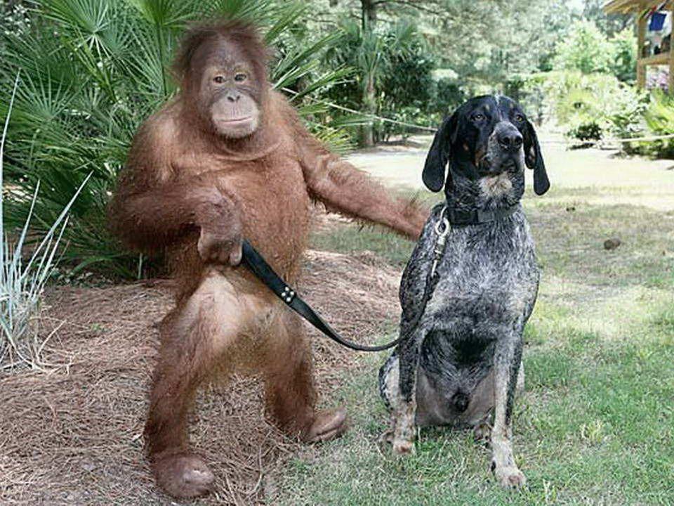 Un orango orfano a tre anni era così depresso che si rifiutava di mangiare e di farsi curare. I veterinari avevano intuito che stava per morire e lo h