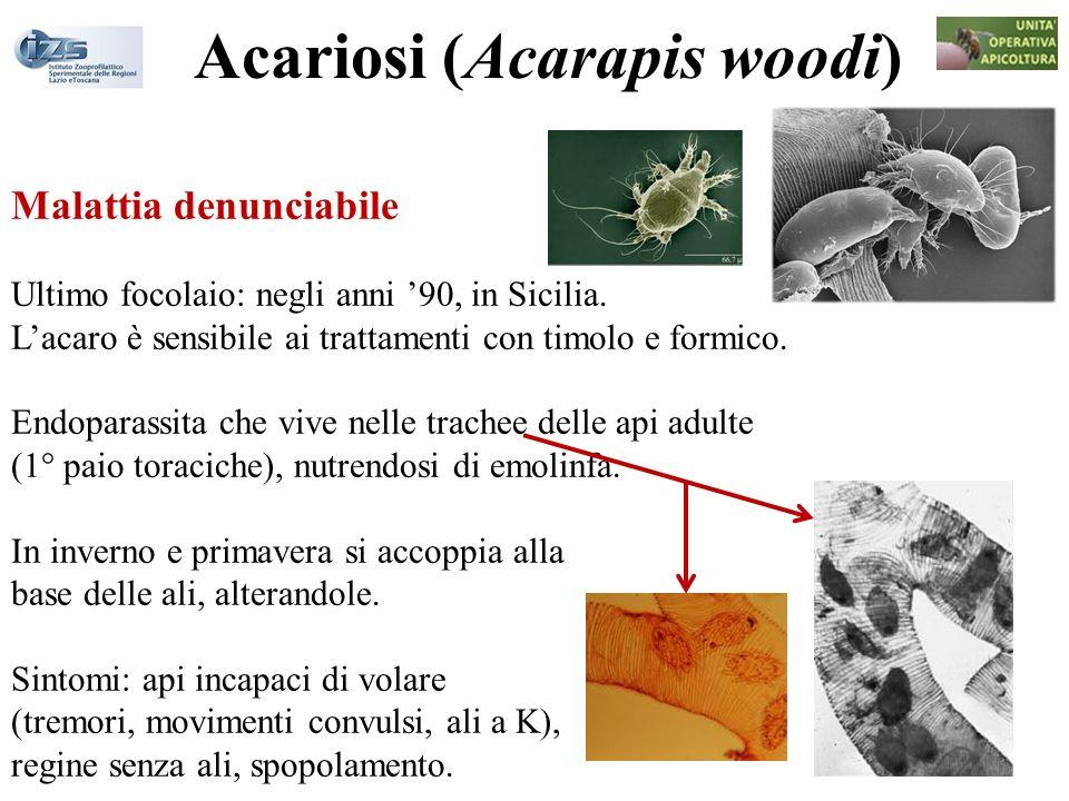 Acariosi (Acarapis woodi) Malattia denunciabile Ultimo focolaio: negli anni 90, in Sicilia. Lacaro è sensibile ai trattamenti con timolo e formico. En