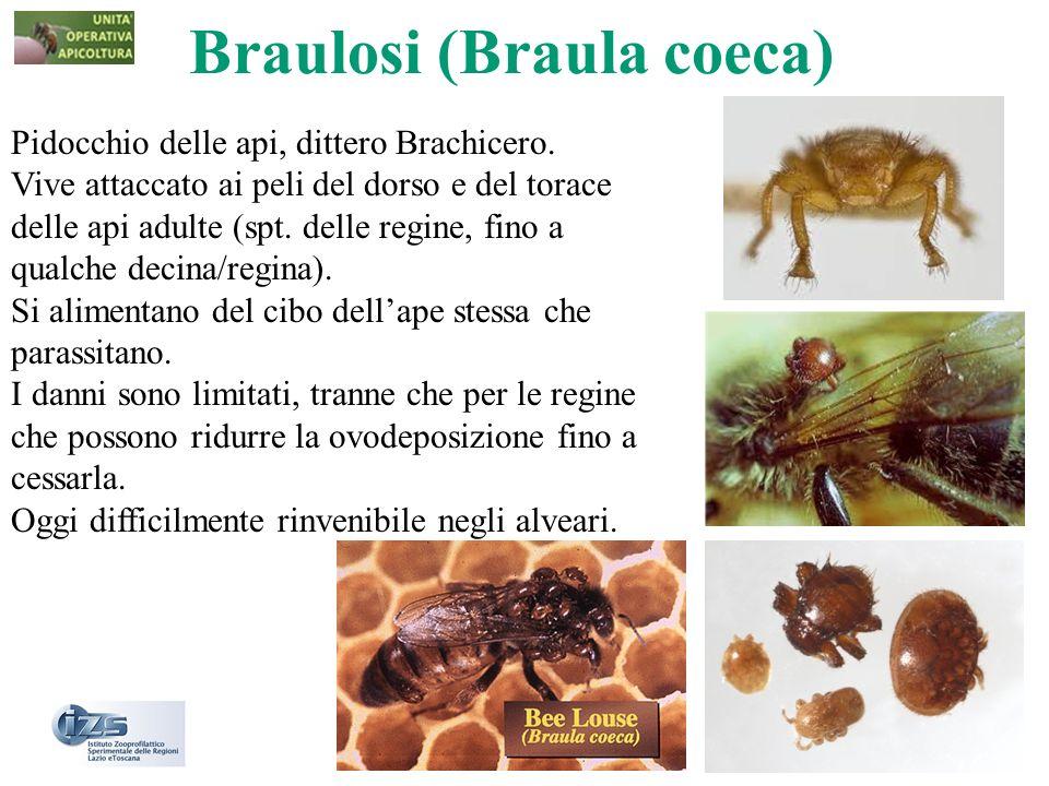 Braulosi (Braula coeca) Pidocchio delle api, dittero Brachicero. Vive attaccato ai peli del dorso e del torace delle api adulte (spt. delle regine, fi