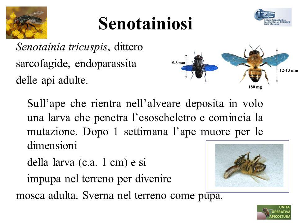 Senotainiosi Senotainia tricuspis, dittero sarcofagide, endoparassita delle api adulte. Sullape che rientra nellalveare deposita in volo una larva che