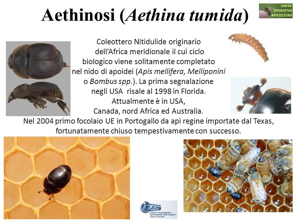 Aethinosi (Aethina tumida) Coleottero Nitidulide originario dellAfrica meridionale il cui ciclo biologico viene solitamente completato nel nido di apo