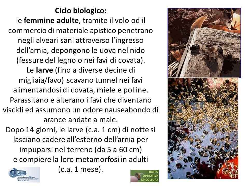 Ciclo biologico: le femmine adulte, tramite il volo od il commercio di materiale apistico penetrano negli alveari sani attraverso lingresso dellarnia,
