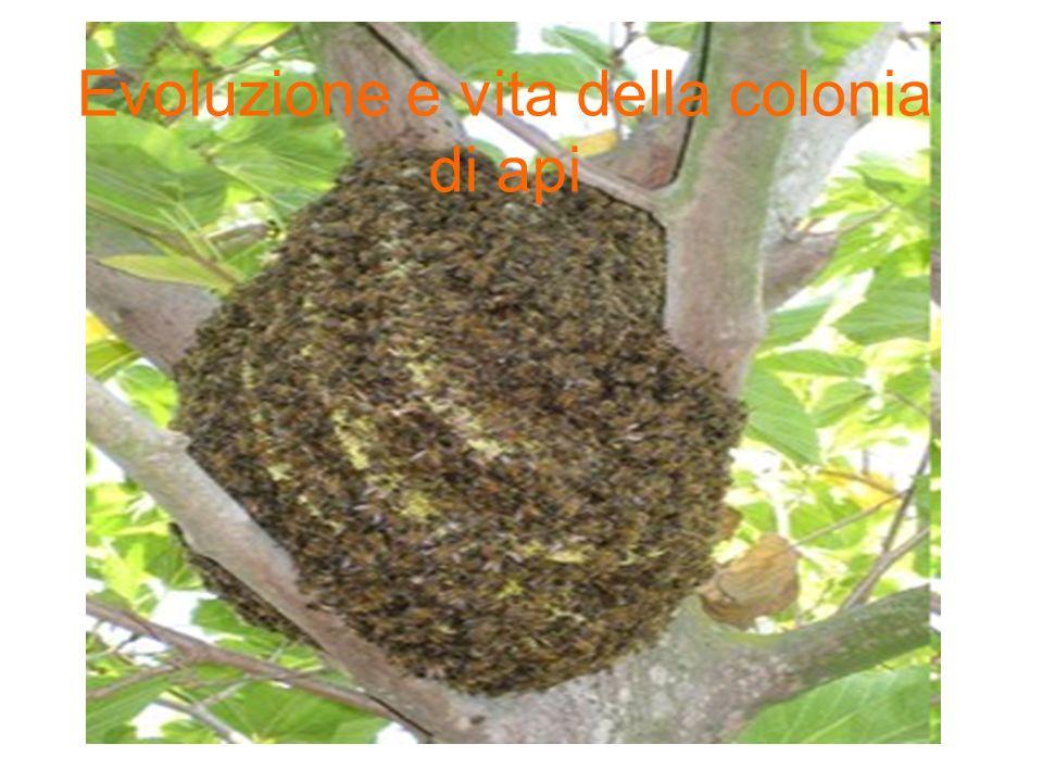 Origine delle api: Si pensa che lorigine delle api abbia avuto inizio da 40 a 80ML di anni fa da un antenato simile ad una vespa che abbandonò il regime a base di carne per una scelta vegetariana