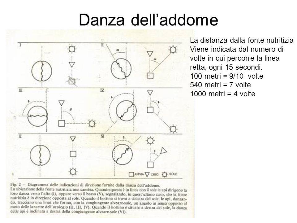 Danza delladdome La distanza dalla fonte nutritizia Viene indicata dal numero di volte in cui percorre la linea retta, ogni 15 secondi: 100 metri = 9/