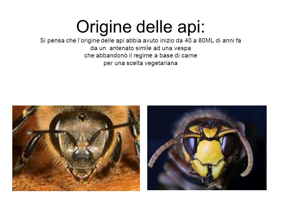 Origine delle api: Si pensa che lorigine delle api abbia avuto inizio da 40 a 80ML di anni fa da un antenato simile ad una vespa che abbandonò il regi