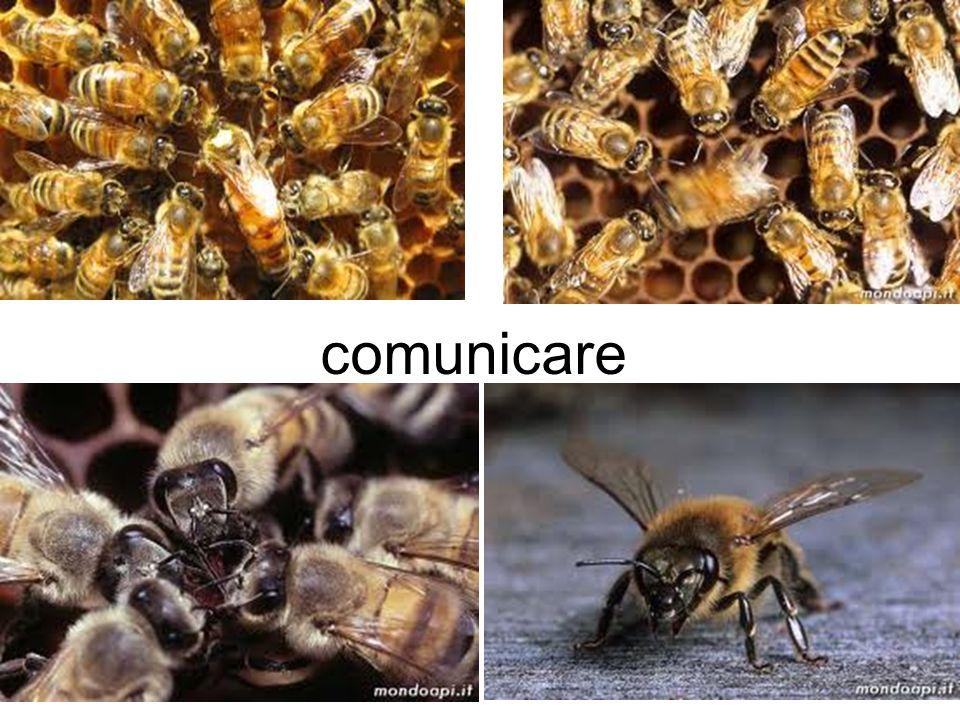 Danza delle api; Movimenti ondulatori : È una danza collettiva che le api esercitano soprattutto in estate dopo il flusso del raccolto lavoro sulla parete frontale dellarnia.