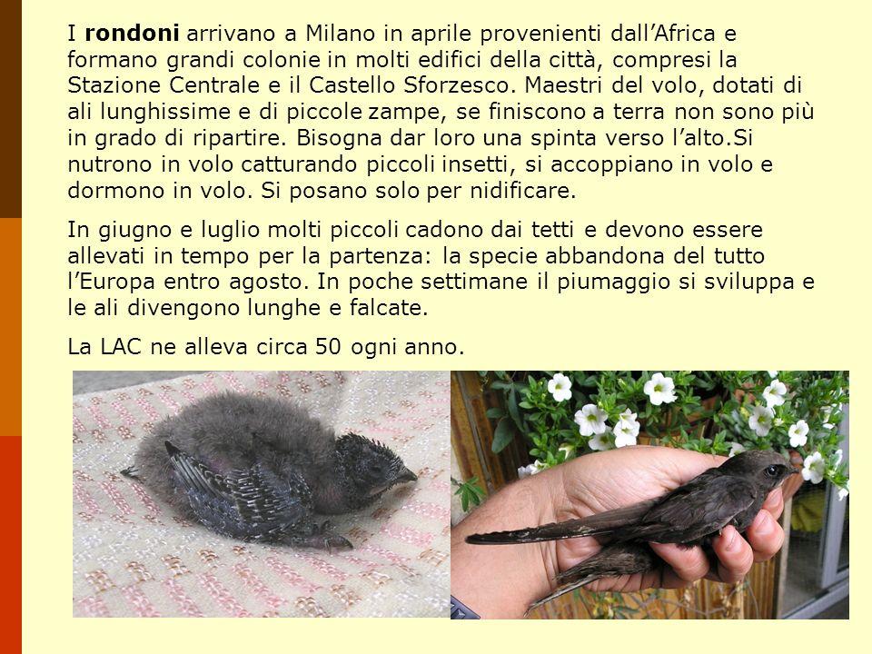 I rondoni arrivano a Milano in aprile provenienti dallAfrica e formano grandi colonie in molti edifici della città, compresi la Stazione Centrale e il