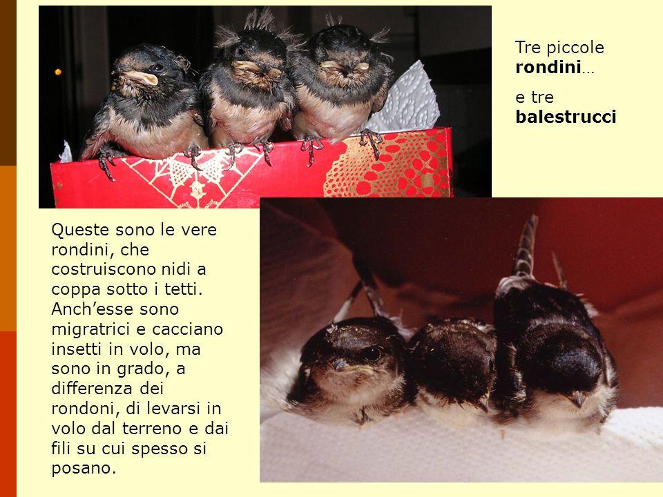 Tre piccole rondini… e tre balestrucci Queste sono le vere rondini, che costruiscono nidi a coppa sotto i tetti. Anchesse sono migratrici e cacciano i