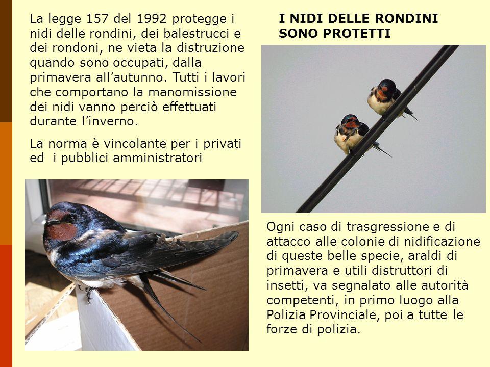 La legge 157 del 1992 protegge i nidi delle rondini, dei balestrucci e dei rondoni, ne vieta la distruzione quando sono occupati, dalla primavera alla