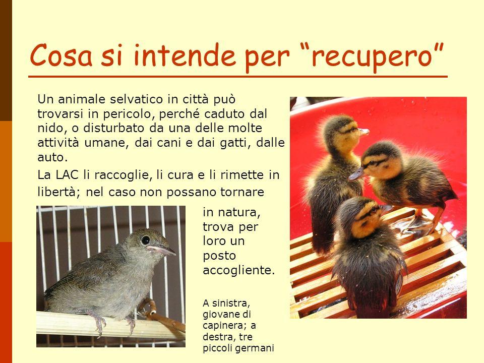 Cosa si intende per recupero Rondone caduto dal nido Un animale selvatico in città può trovarsi in pericolo, perché caduto dal nido, o disturbato da u