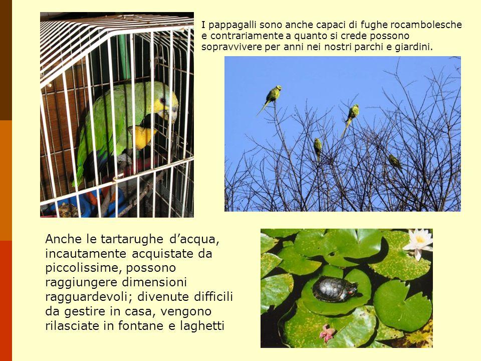 I pappagalli sono anche capaci di fughe rocambolesche e contrariamente a quanto si crede possono sopravvivere per anni nei nostri parchi e giardini. A