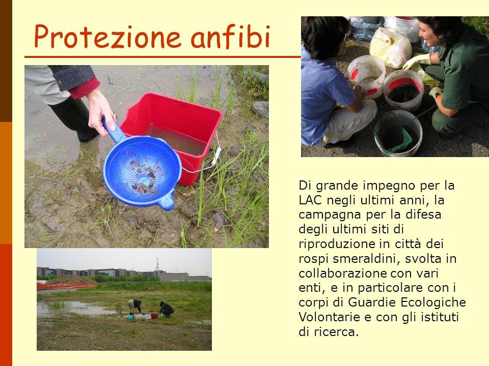Protezione anfibi Di grande impegno per la LAC negli ultimi anni, la campagna per la difesa degli ultimi siti di riproduzione in città dei rospi smera