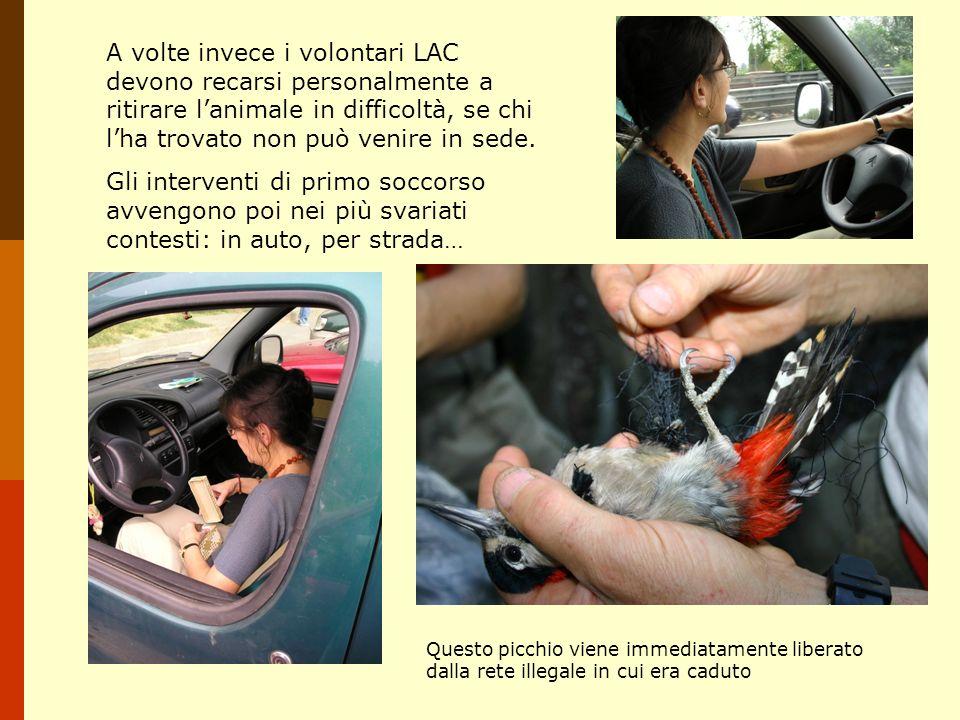 Quando luccellino è ferito o malato è necessario lintervento di uno dei rari veterinari aviari.