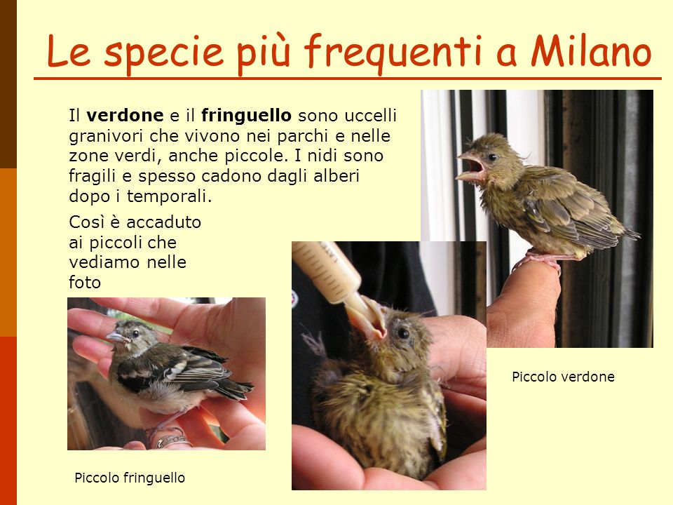 Le specie più frequenti a Milano Il verdone e il fringuello sono uccelli granivori che vivono nei parchi e nelle zone verdi, anche piccole. I nidi son