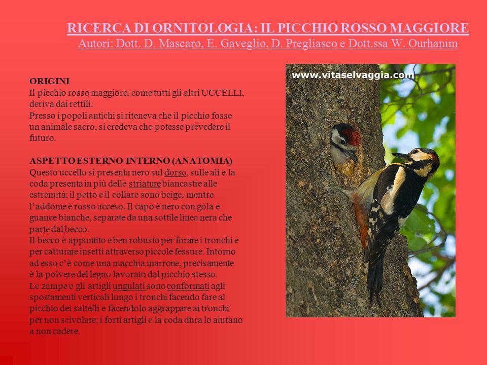 RICERCA DI ORNITOLOGIA: IL PICCHIO ROSSO MAGGIORE Autori: Dott. D. Mascaro, E. Gaveglio, D. Pregliasco e Dott.ssa W. Ourhanim ORIGINI Il picchio rosso
