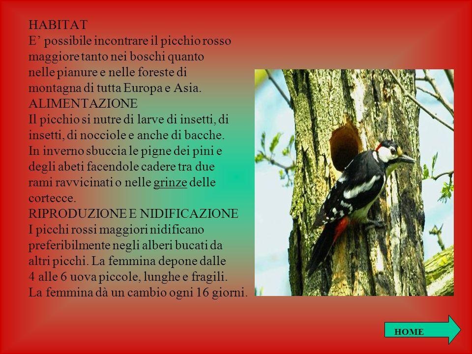 HABITAT E possibile incontrare il picchio rosso maggiore tanto nei boschi quanto nelle pianure e nelle foreste di montagna di tutta Europa e Asia. ALI