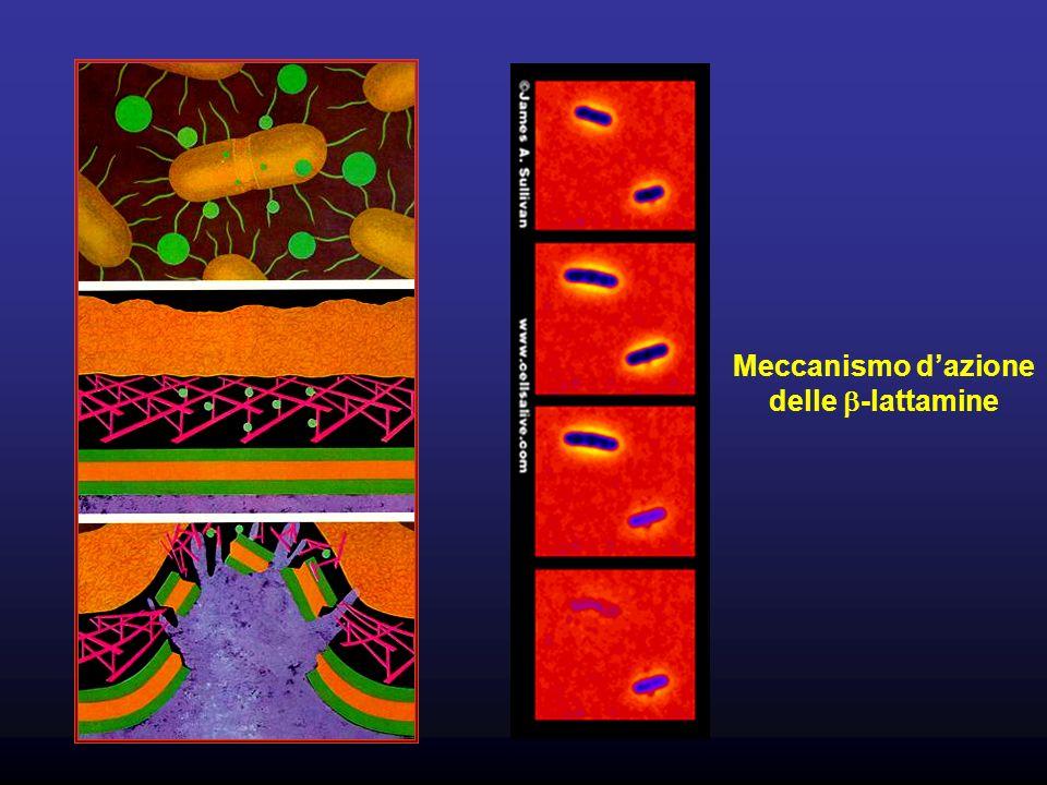 Meccanismo dazione delle -lattamine
