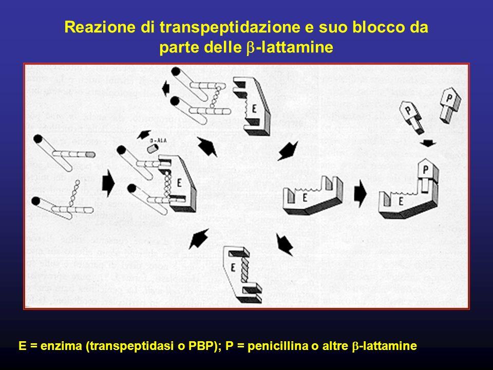 Reazione di transpeptidazione e suo blocco da parte delle -lattamine E = enzima (transpeptidasi o PBP); P = penicillina o altre -lattamine