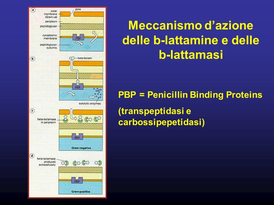 Meccanismo dazione delle b-lattamine e delle b-lattamasi PBP = Penicillin Binding Proteins (transpeptidasi e carbossipepetidasi)