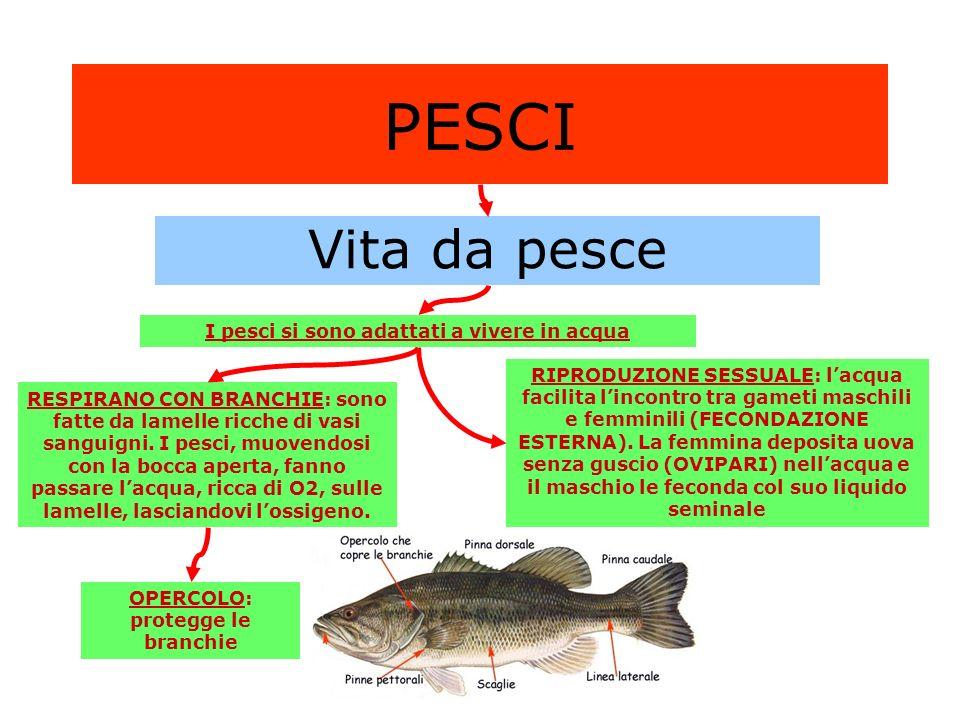 PESCI Vita da pesce I pesci si sono adattati a vivere in acqua RESPIRANO CON BRANCHIE: sono fatte da lamelle ricche di vasi sanguigni. I pesci, muoven