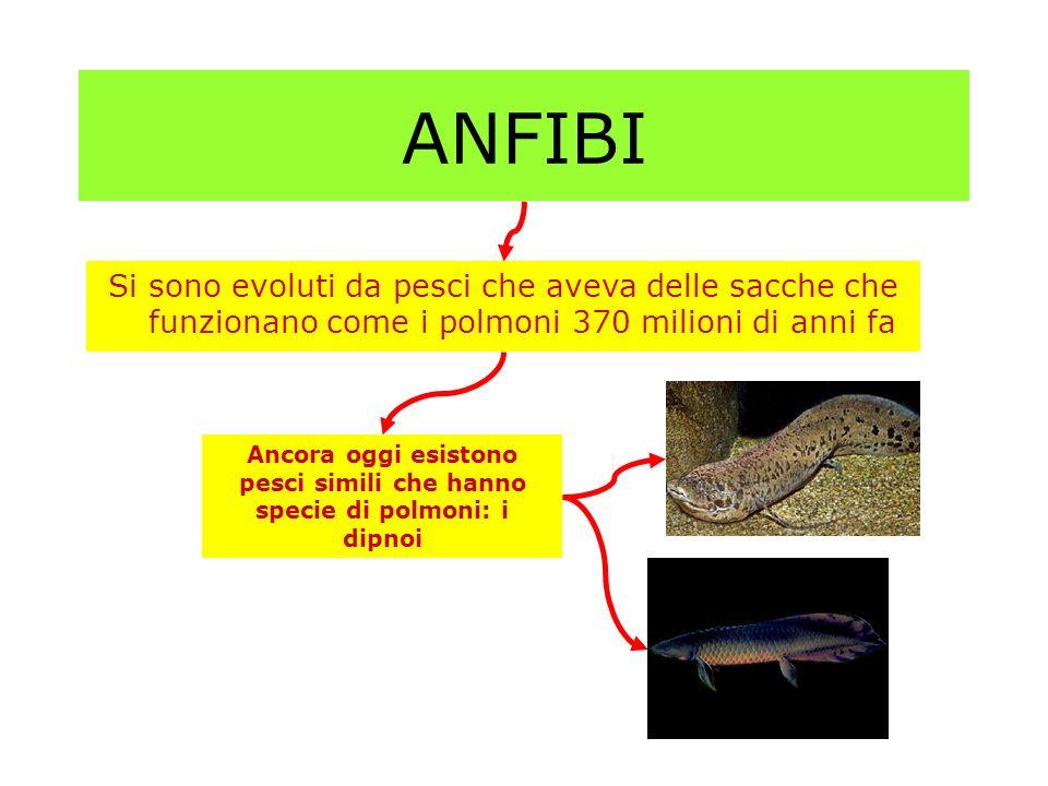 ANFIBI Si sono evoluti da pesci che aveva delle sacche che funzionano come i polmoni 370 milioni di anni fa Ancora oggi esistono pesci simili che hann