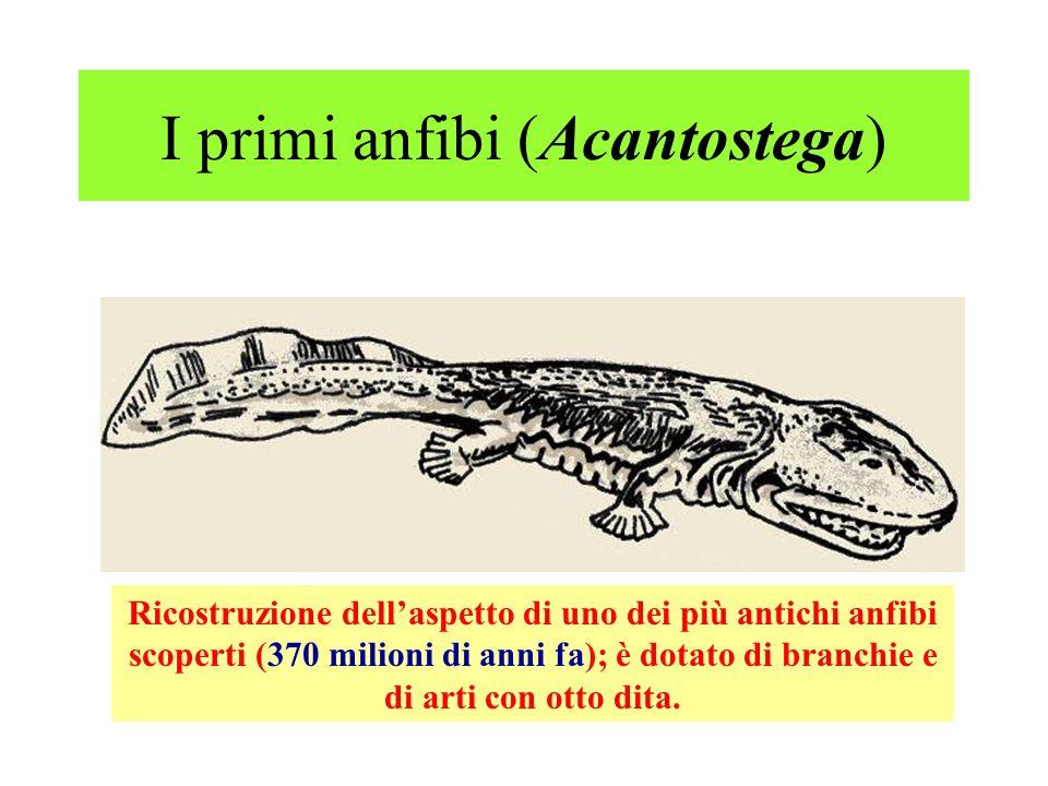 I primi anfibi (Acantostega) Ricostruzione dellaspetto di uno dei più antichi anfibi scoperti (370 milioni di anni fa); è dotato di branchie e di arti