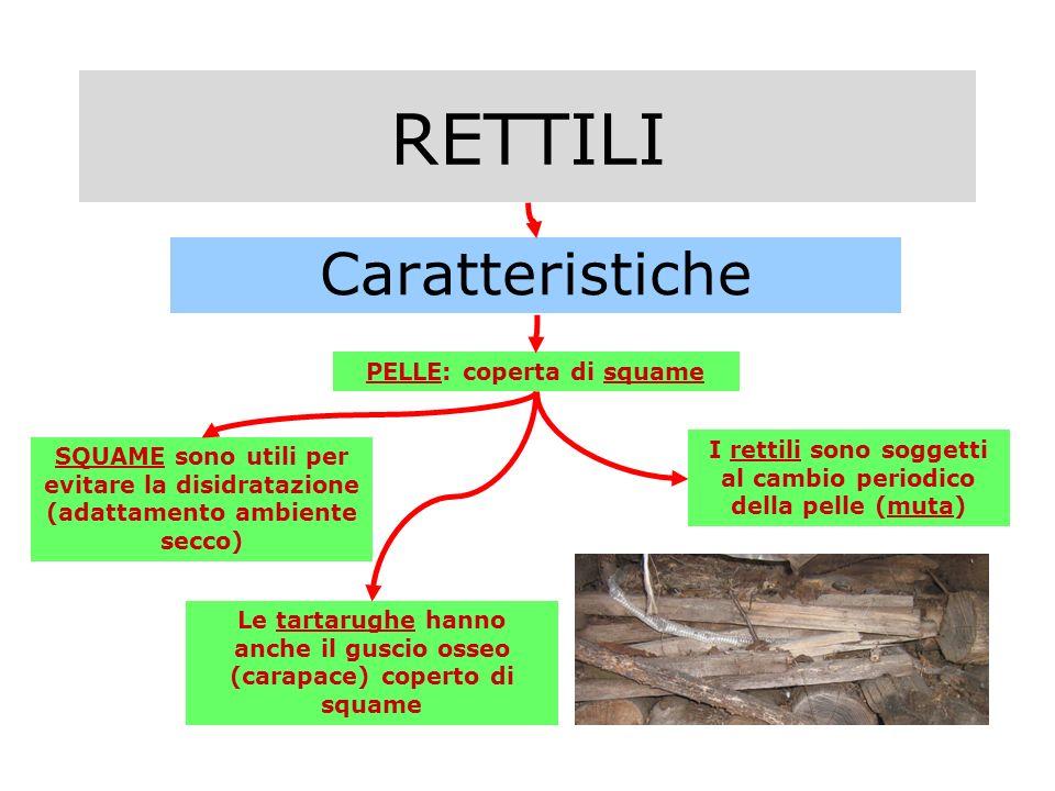 RETTILI Caratteristiche PELLE: coperta di squame SQUAME sono utili per evitare la disidratazione (adattamento ambiente secco) Le tartarughe hanno anche il guscio osseo (carapace) coperto di squame I rettili sono soggetti al cambio periodico della pelle (muta)