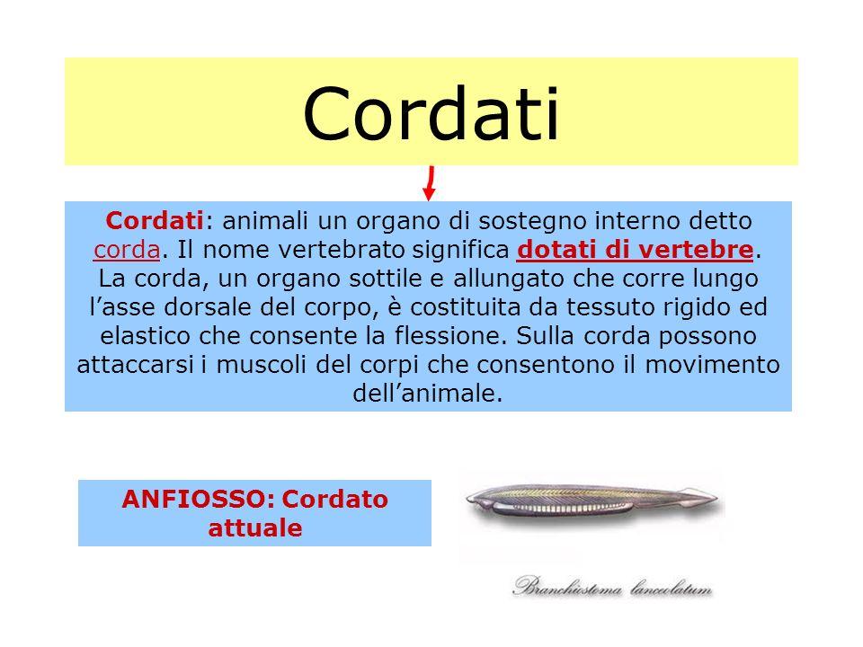 Cordati Cordati: animali un organo di sostegno interno detto corda. Il nome vertebrato significa dotati di vertebre. La corda, un organo sottile e all