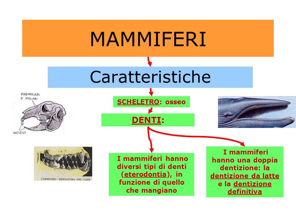 MAMMIFERI Caratteristiche SCHELETRO: osseo DENTI: I mammiferi hanno diversi tipi di denti (eterodontìa), in funzione di quello che mangiano I mammifer