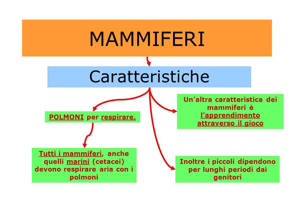 MAMMIFERI Caratteristiche POLMONI per respirare. Inoltre i piccoli dipendono per lunghi periodi dai genitori Unaltra caratteristica dei mammiferi è la