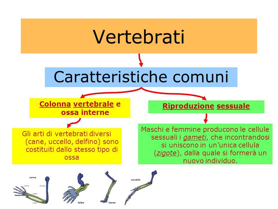 Vertebrati Caratteristiche comuni Colonna vertebrale e ossa interne Riproduzione sessuale Gli arti di vertebrati diversi (cane, uccello, delfino) sono