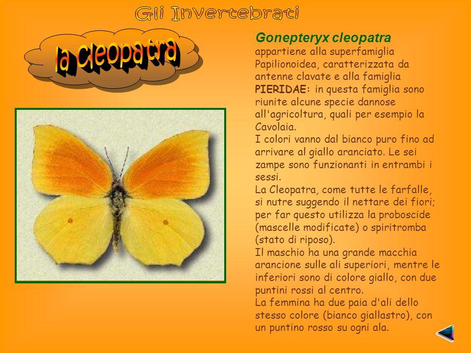 Gonepteryx cleopatra appartiene alla superfamiglia Papilionoidea, caratterizzata da antenne clavate e alla famiglia PIERIDAE: in questa famiglia sono riunite alcune specie dannose all agricoltura, quali per esempio la Cavolaia.