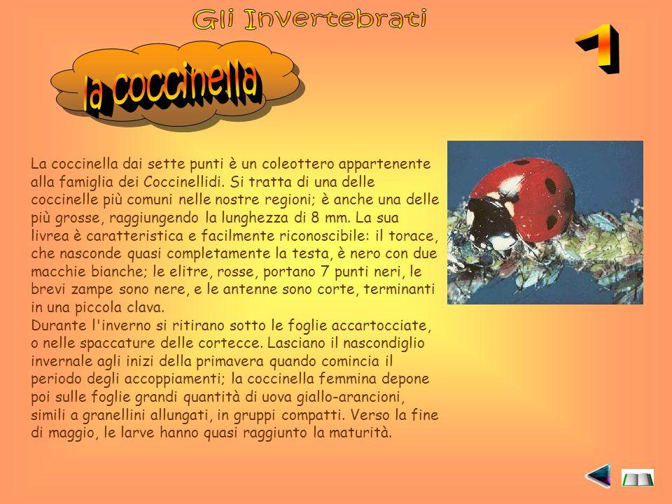 La coccinella dai sette punti è un coleottero appartenente alla famiglia dei Coccinellidi.
