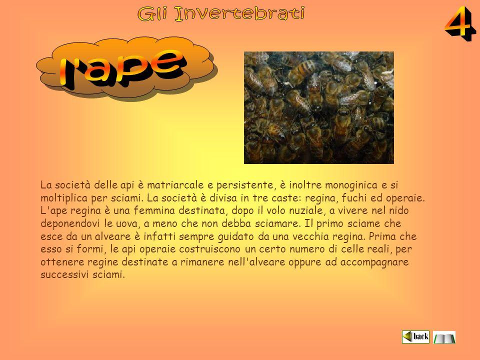 La società delle api è matriarcale e persistente, è inoltre monoginica e si moltiplica per sciami.