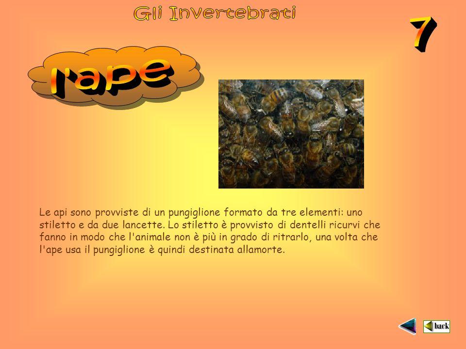 Le api sono provviste di un pungiglione formato da tre elementi: uno stiletto e da due lancette.