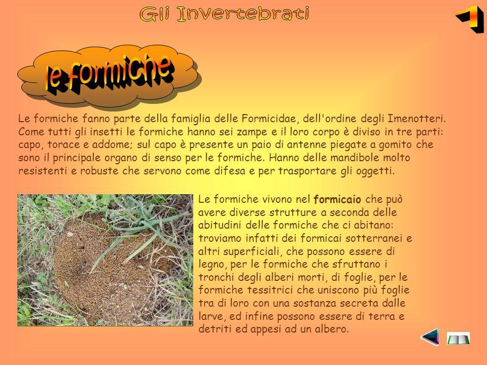 Le formiche fanno parte della famiglia delle Formicidae, dell ordine degli Imenotteri.