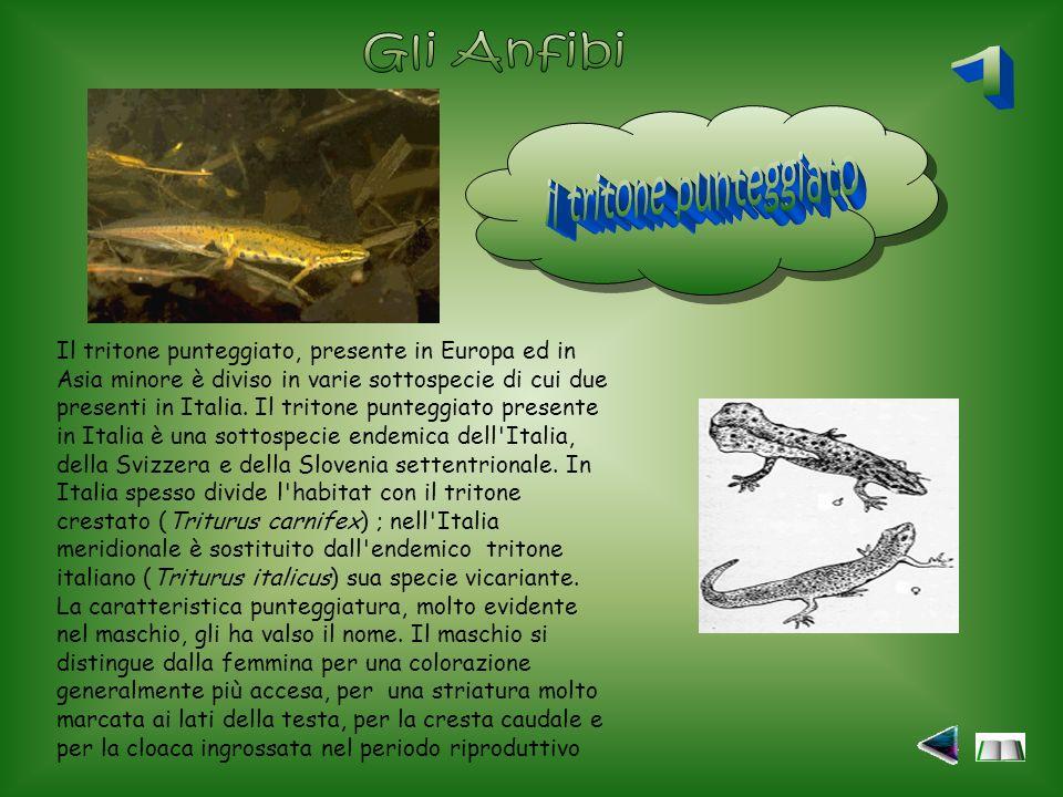 Il tritone punteggiato, presente in Europa ed in Asia minore è diviso in varie sottospecie di cui due presenti in Italia.