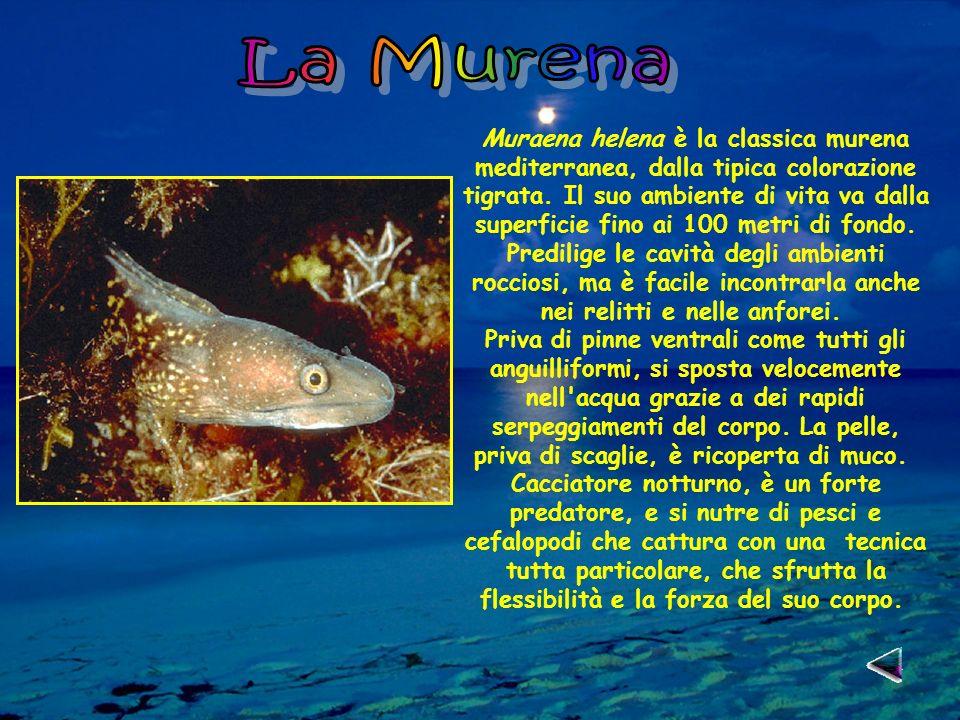 Muraena helena è la classica murena mediterranea, dalla tipica colorazione tigrata.