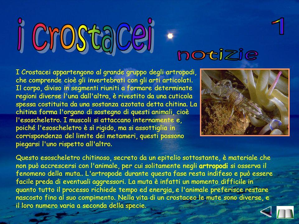I Crostacei appartengono al grande gruppo degli artropodi, che comprende cioè gli invertebrati con gli arti articolati.