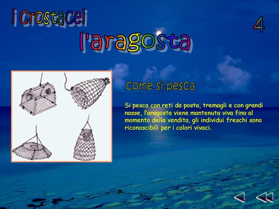 Si pesca con reti da posta, tremagli e con grandi nasse, laragosta viene mantenuta viva fino al momento della vendita, gli individui freschi sono riconoscibili per i colori vivaci.