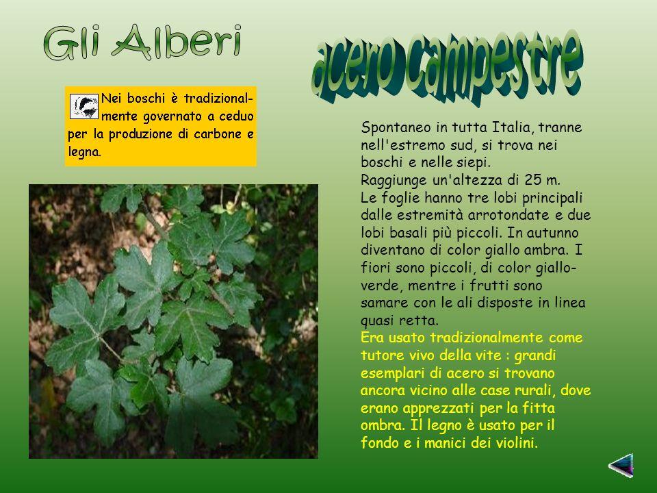 Spontaneo in tutta Italia, tranne nell estremo sud, si trova nei boschi e nelle siepi.