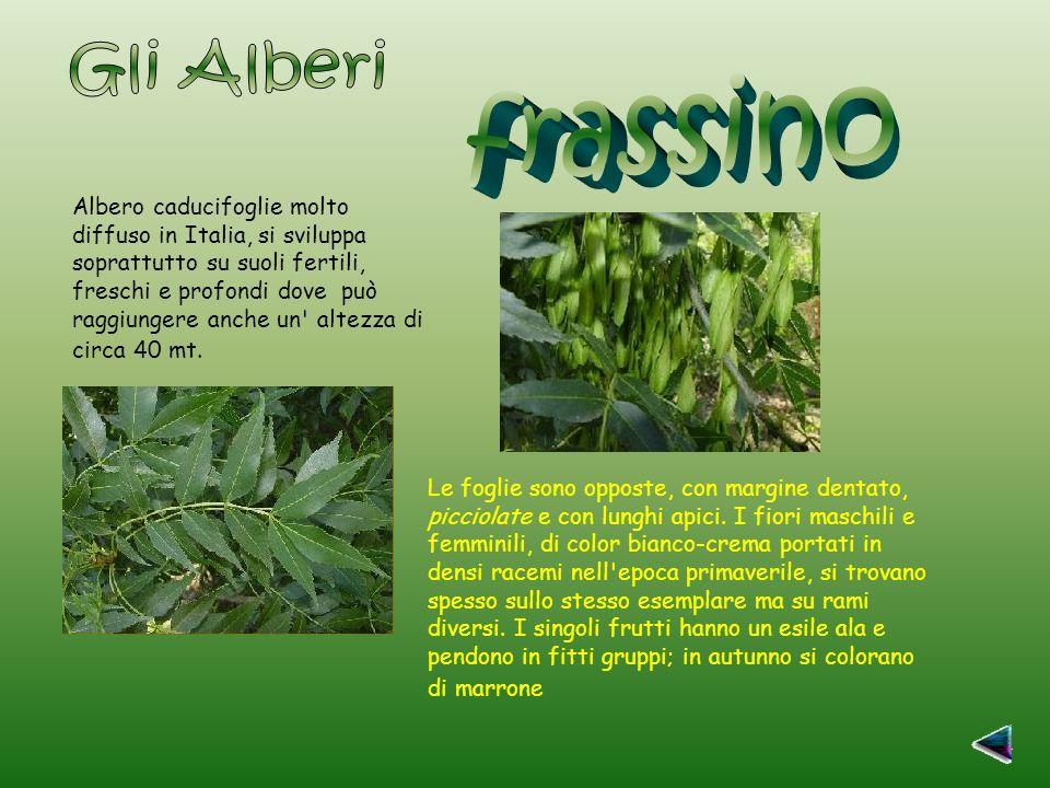 Albero caducifoglie molto diffuso in Italia, si sviluppa soprattutto su suoli fertili, freschi e profondi dove può raggiungere anche un altezza di circa 40 mt.