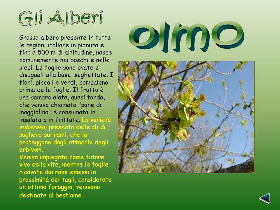 Grosso albero presente in tutte le regioni italiane in pianura e fino a 500 m di altitudine, nasce comunemente nei boschi e nelle siepi.