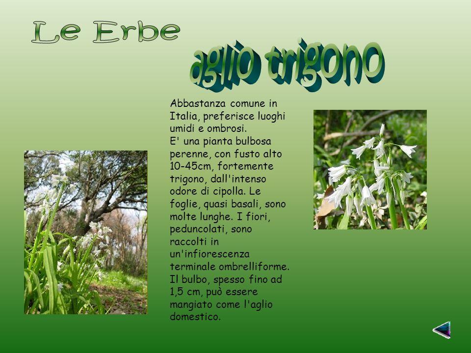 Abbastanza comune in Italia, preferisce luoghi umidi e ombrosi.