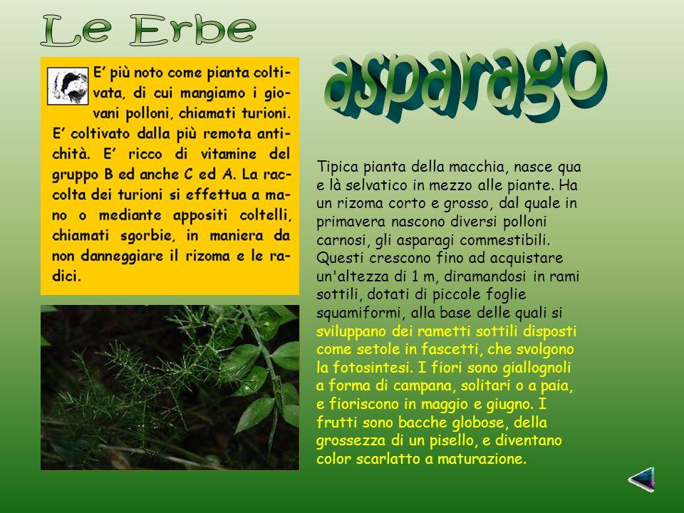 Tipica pianta della macchia, nasce qua e là selvatico in mezzo alle piante.