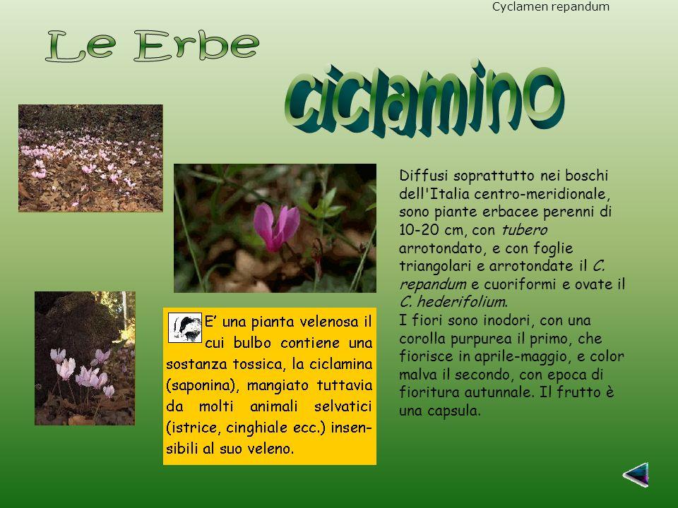Cyclamen repandumCyclamen hederifolium Diffusi soprattutto nei boschi dell Italia centro-meridionale, sono piante erbacee perenni di 10-20 cm, con tubero arrotondato, e con foglie triangolari e arrotondate il C.