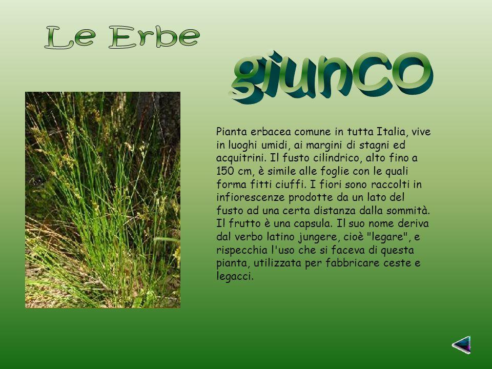 Pianta erbacea comune in tutta Italia, vive in luoghi umidi, ai margini di stagni ed acquitrini.