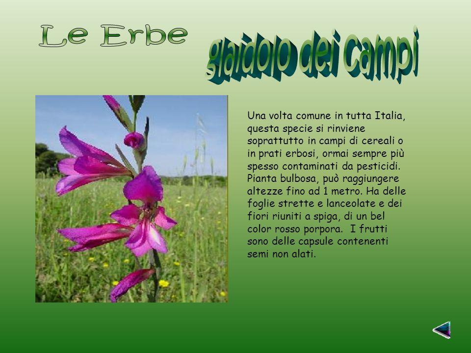 Una volta comune in tutta Italia, questa specie si rinviene soprattutto in campi di cereali o in prati erbosi, ormai sempre più spesso contaminati da pesticidi.
